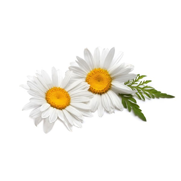 Chamomile Flower Glycerin Extract al_600x600