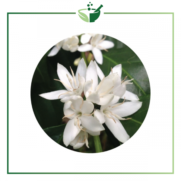 Coffee Blossom Absolute Oil (Coffea arabica)-01